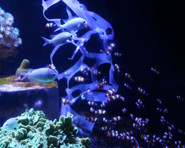 Tropical fish in aquarium with plastic in the water highlighting the issue with people throwing plastic into the oceans.